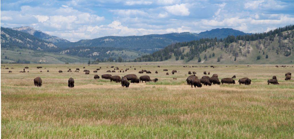Bison in Teton Valley